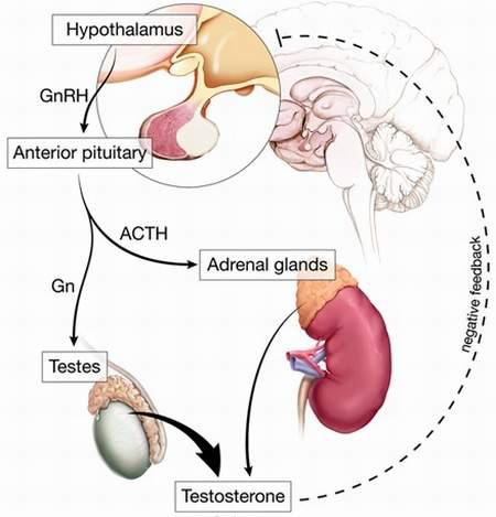 Cơ chế tạo testosterone trong cơ thể.